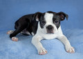 Chiot de chien terrier de Boston Photo stock