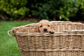 Chiot de golden retriever Photo stock
