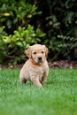 Chiot de golden retriever Photos libres de droits