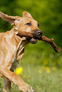 Chiot de Ridgeback Photo stock
