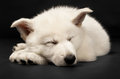 Chiot du chien de berger blanc Photo stock