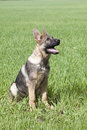 Chiot du s de berger allemand Photos stock