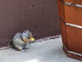 Chip and the squirrel little sits down enjoys a potato Royalty Free Stock Photography