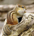 Chipmunk 1 Stock Image