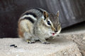 Chipmunk chirp a caught in mid Stock Photos