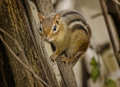 Chipmunk a clings to a tree trunk Royalty Free Stock Photos