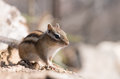 Chipmunk cute on a fallen tree Stock Images