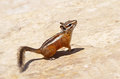 Chipmunk detail zion national park usa Stock Photo
