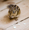 Chipmunk eating Royalty Free Stock Images