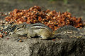 Chipmunk a eating nuts and berries Stock Image