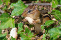 Chipmunk eating peanut a with both hands Stock Image