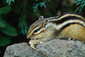 Chipmunk eating rice or striped squirrel Royalty Free Stock Photo