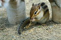 Chipmunk eating rice or striped squirrel Royalty Free Stock Photography