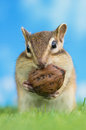 Chipmunk eating walnut on grass ground Royalty Free Stock Photography
