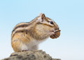 Chipmunk eating walnut siberian on a stone Stock Images