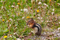 Chipmunk feeding Stock Images