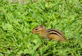 Chipmunk in a Field Royalty Free Stock Photo