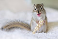 Chipmunk grimacing Obraz Royalty Free