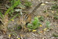 Chipmunk on ground with full cheeks cute of food Royalty Free Stock Image
