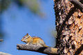 A chipmunk on guard duty Royalty Free Stock Photo