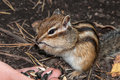 Chipmunk hand seeds feeding standing and eating and nuts with hands Royalty Free Stock Image