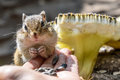 Chipmunk hand sunflower seeds feeding Royalty Free Stock Photo
