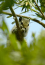 Chipmunk hiding on tree cute a Royalty Free Stock Photography