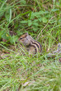 Chipmunk on hinder legs sitting Royalty Free Stock Images