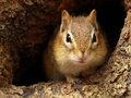 Chipmunk in a knothole closeup of chipmuk looking into the camera Stock Images