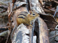 Chipmunk on a log closeup of Royalty Free Stock Image