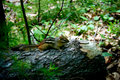 Chipmunk on a Log in the Woods Royalty Free Stock Photo