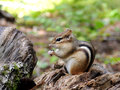 Chipmunk on an Old Log Royalty Free Stock Photo