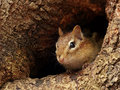 Chipmunk peeking out of a knothole closeup chipmuk in tree Royalty Free Stock Photos