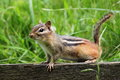Chipmunk perched on a wooden fence Stock Image