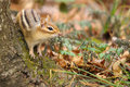 Chipmunk a perches on a tree stump during the season of fall Royalty Free Stock Photos