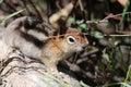 Chipmunk photo taken in grand teton national park a Stock Images