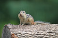 Chipmunk in the rain a little eastern tamias striatus on a tree log Royalty Free Stock Photos