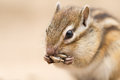 Chipmunk siberian eating sunflower seed Stock Photography
