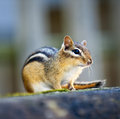 Chipmunk sitting on log wild close up crouching wooden Stock Photo