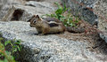 Chipmunk a sitting on a rock in the woods Stock Photo