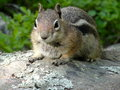 Chipmunk small on rock with green vegetation in the background Stock Photos