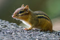 Chipmunk standing in the sunlight Stock Photo