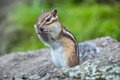 Chipmunk with sunflower seeds stands on his hind legs and chewing on seed Stock Images