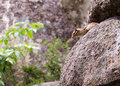Chipmunk tamias sibiricus wildlife nature scene anaxiously looking peeping out of rock stones Stock Photography