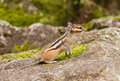 Chipmunk tamias sibiricus in the wildlife staying on the stone on its hind legs and looking anxiously in front of it photo taken Stock Photography