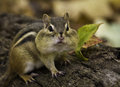 Chipmunk tamias striatus with cheek pouches filled posing on a log in autumn Royalty Free Stock Image