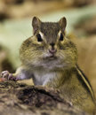 Chipmunk tamias striatus with cheek pouches filled standing beside a log in autumn Stock Photos