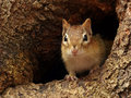 Chipmunk in a tree hole closeup of peeking out of at the base of Royalty Free Stock Image