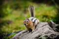 Chipmunk wild feeding on grass in a talus field kananaskis country alberta canada Royalty Free Stock Image