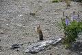 Chipmunk And Wild Flowers